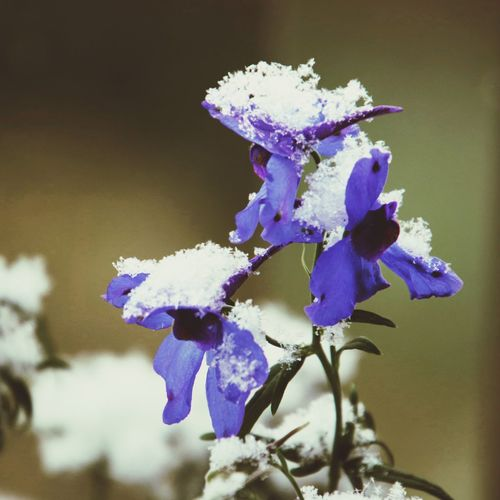 Plant Purple Flowering Plant Flower Close-up Vulnerability  Beauty In Nature Fragility Freshness Cold Temperature
