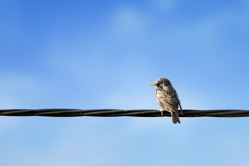 European Starling, Sturnus vulgaris sitting on power supply line with blue background Bird Animal Animal Themes Animal Wildlife Vertebrate One Animal Animals In The Wild Sky Perching Blue Clear Sky Low Angle View No People Branch Day Nature Outdoors Tree Copy Space Bird Of Prey Eagle Starling Sturnus Vulgaris