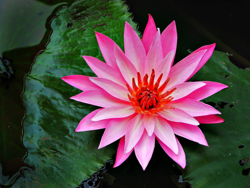 the beauty of Lotus #lotus Beauty In Nature Blooming Close-up Day Flower Flower Head Fragility Freshness Growth Leaf Nature No People Outdoors Petal Pink Color Plant Pollen Water