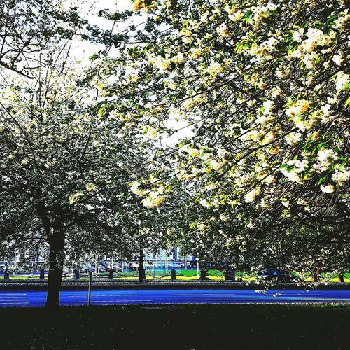 White Cherry Blossom White Flower White Cherry Blossoms White Cherry Tree Sky And Trees Pretty♡ Pretty Branches ❤
