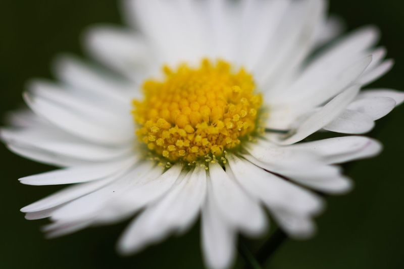 Beauty in Nature Flower Flowering Plant Fragility Freshness Vulnerability  Plant Flower Head Inflorescence Petal Growth Beauty In Nature Yellow Close-up Pollen White Color Nature Daisy Selective Focus Focus On Foreground No People