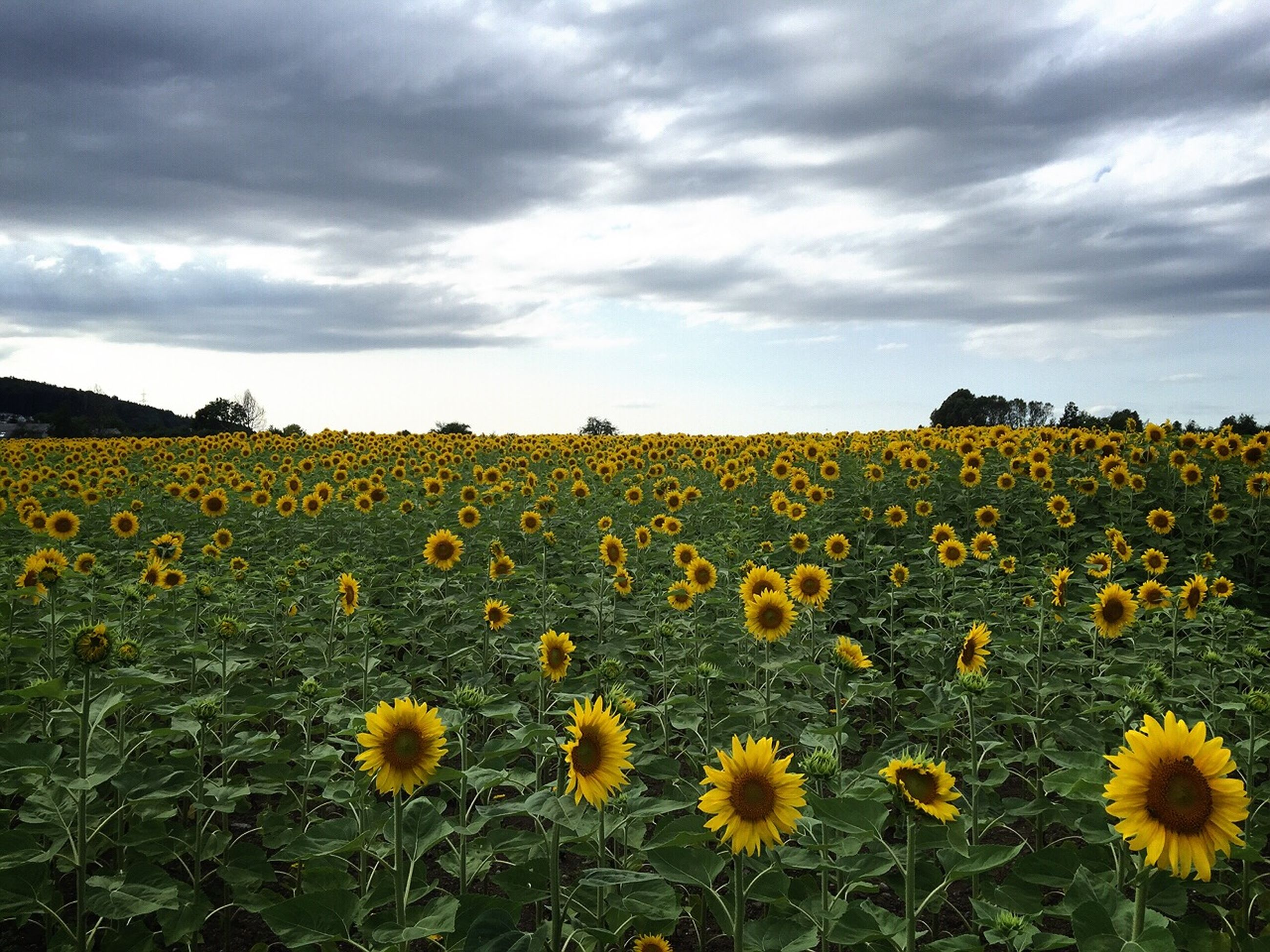 flower, yellow, beauty in nature, sky, field, freshness, rural scene, growth, landscape, cloud - sky, agriculture, nature, tranquil scene, fragility, scenics, sunflower, cloudy, abundance, tranquility, cloud