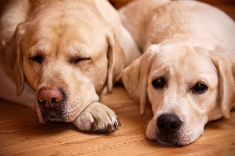 Close-up of two dogs on hardwood floor