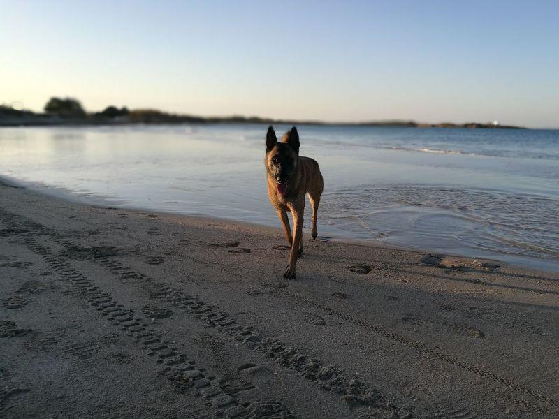Pets Beach Sand Water Sea Malinois Malinois Dog Malinoislovers Puglia - South Italy