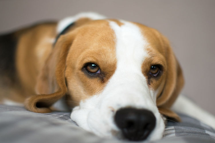 Close-up portrait of dog relaxing on pet bed