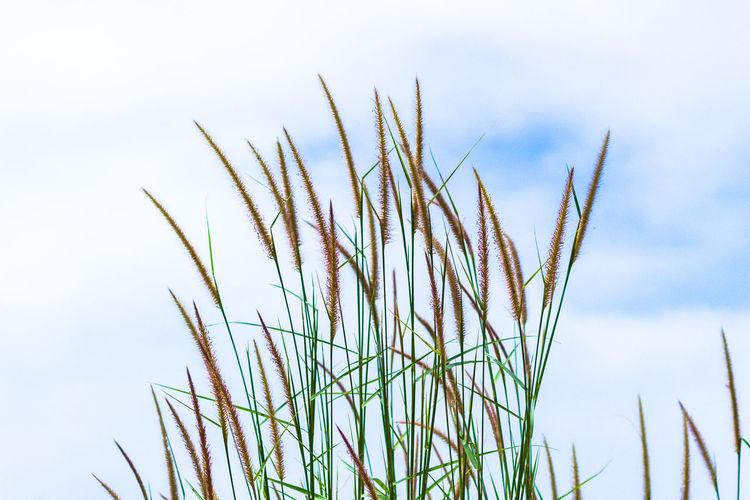 Close-Up Of Fresh Grass Against Sky
