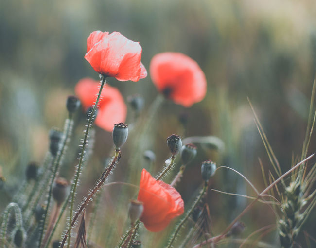 Close-up of red poppies growing on field