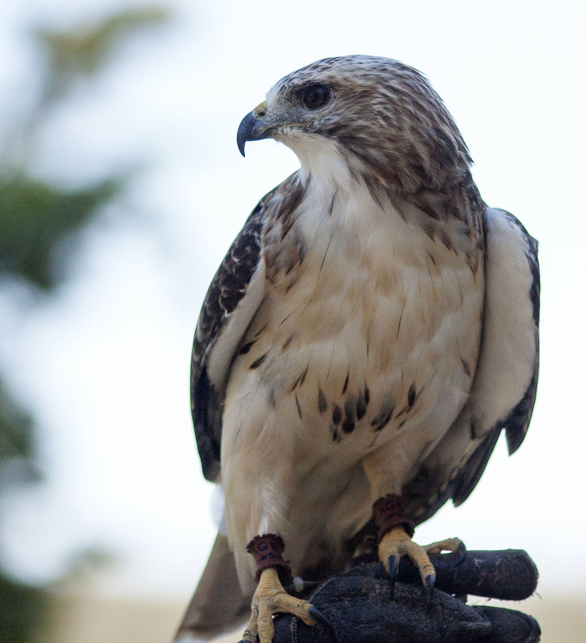bird, animal themes, animal, one animal, animal wildlife, animals in the wild, vertebrate, perching, focus on foreground, close-up, day, bird of prey, nature, no people, looking, looking away, outdoors, full length, beak, eagle