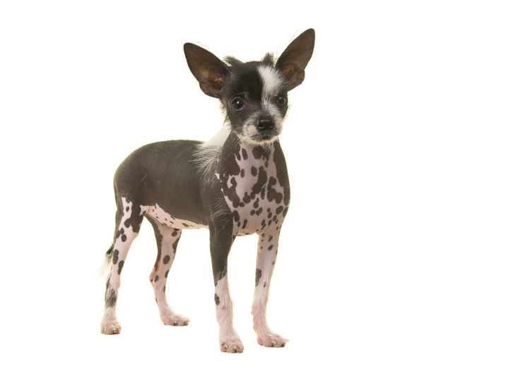 Standing chinese crested puppy dog seen from the side isolated on a white background Animal Themes Chinese Crested Chinese Crested Dog Chinese Crested Puppy Domestic Animals One Animal Pets Puppy Studio Shot White Background