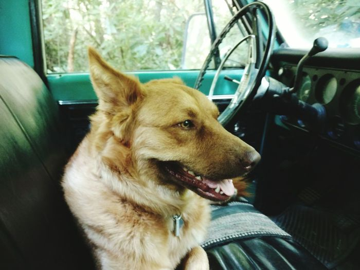 Close-Up Of Dog Sitting In Pick-Up Truck
