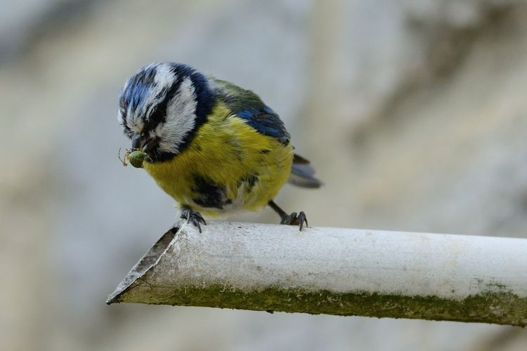 Close-up of bluetit perching on pipe