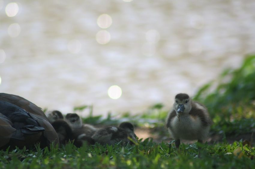 Holiday Vacation Time Animal Themes Animal Wildlife Animals In The Wild Bird Duckling Gosling KwaZulu-Natal Coast Nature Outdoors Togetherness Young Bird