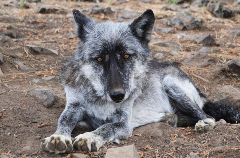 Lone Wolf Wolf Wildlife Wolf Park Nature Colorado