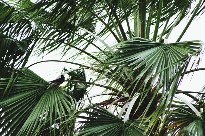 Palm Trees Myna EyeEm Eyeem Philippines Eye4photography  EyeEm Best Shots Eyeemphotography Plants