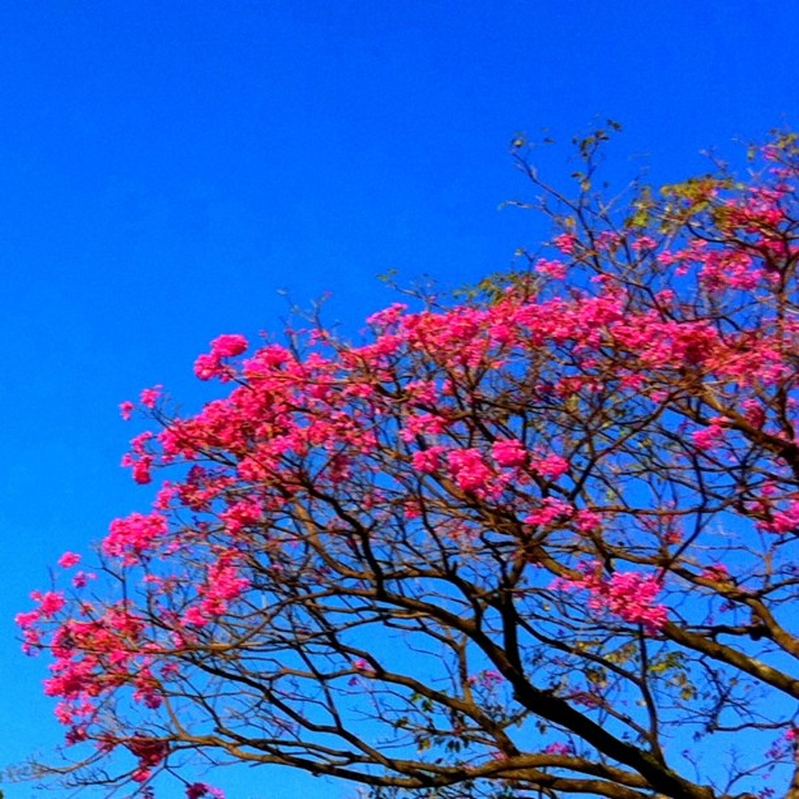 clear sky, low angle view, blue, flower, tree, growth, branch, beauty in nature, freshness, nature, fragility, copy space, pink color, sky, blossom, red, blooming, day, outdoors, in bloom
