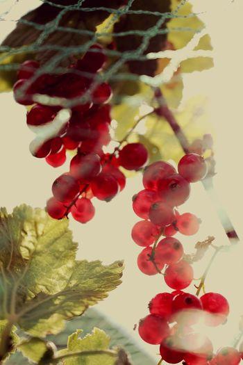 Berries Nature