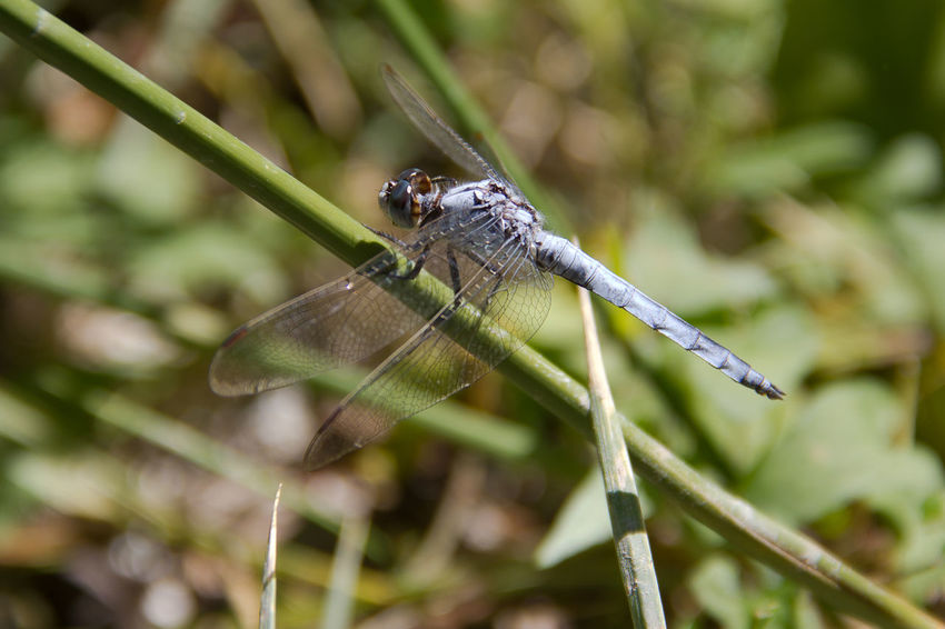 Insect Libellula Orthetrum Brunneum