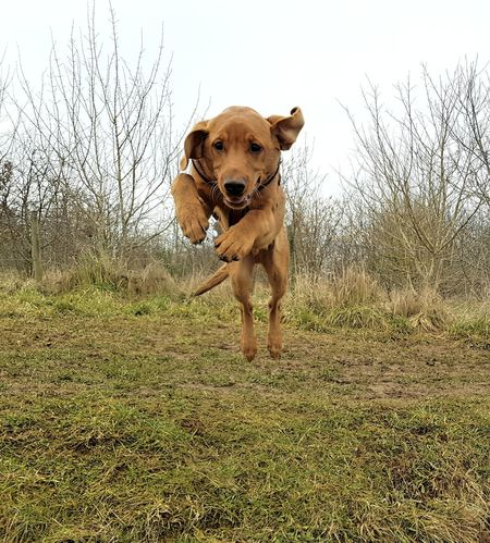 Labrador Labrador Retriever Puppies Puppy Fox Red Lab EyeEm Selects Dog Pets Animal Themes Domestic Animals One Animal Day Grass