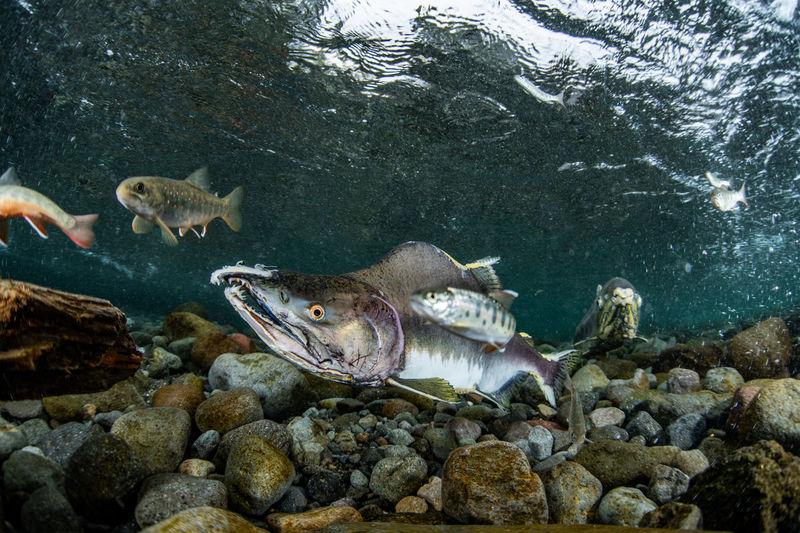 Pink salmon's run in rausu, hokkaido , japan