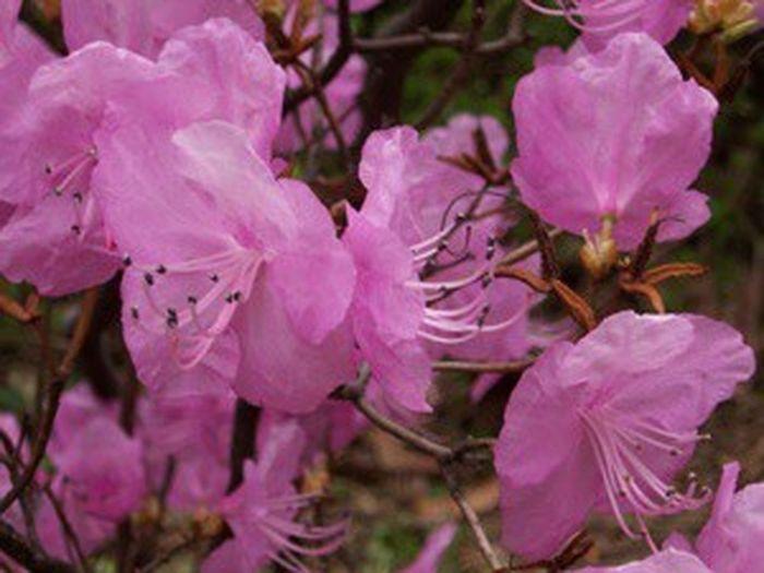Aprill.2005/진달래 Korean Rosebay Spring Flowers Spring Pink Flower Pink Color Pink Seoul Korea Seoul_korea