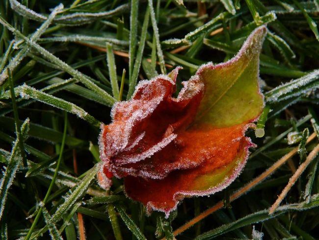 Fall Leaf Frost