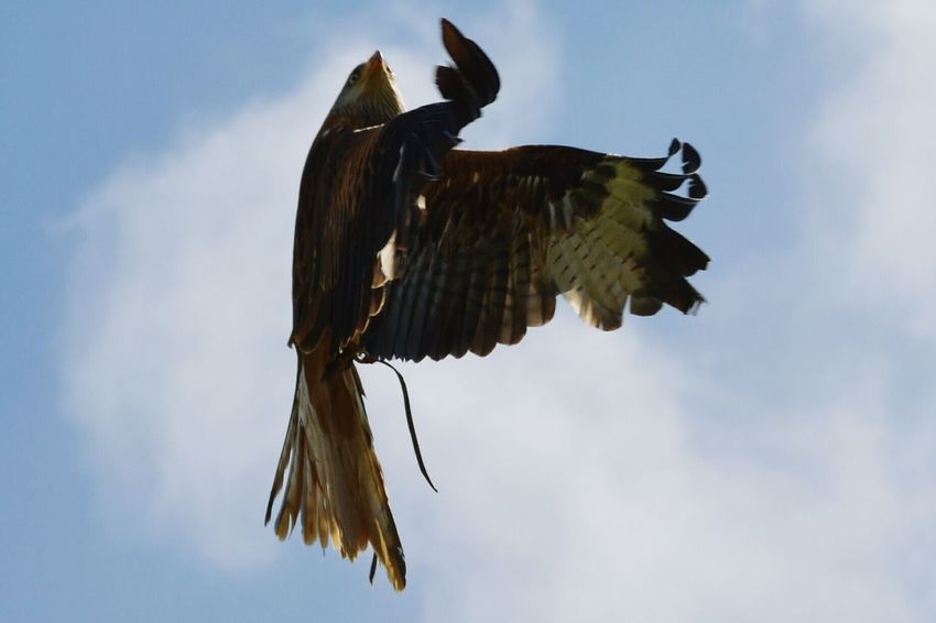 Days Out Nature Photography Birds Of Prey Power In Nature Wildlife Photography Bird Photography Capturing Movement Falconry Display Nikon D3200 Raptor Fast Shutter Speed Red Tailed Kite Kite Birds In Flight Birdsflyinghigh Flying