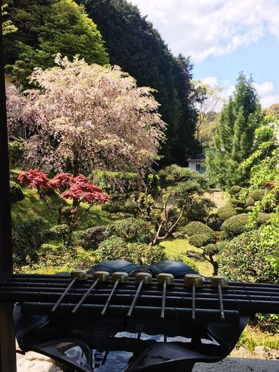 Beautiful Japan in April Nature Tree Beauty In Nature Temple late cherry blossom (called hazakura )
