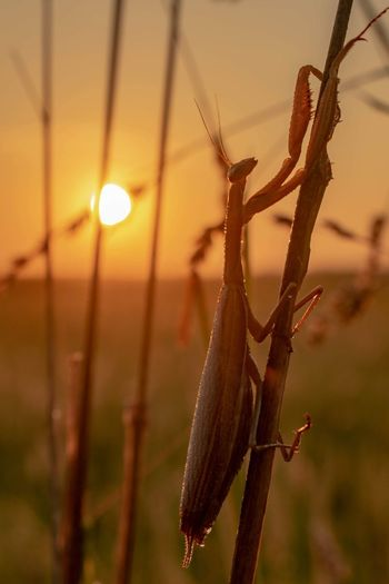 Mantis sunrise. EyeEmNewHere Nature Photography Nature Animals In The Wild Bugs Dawn Sunrise Close-up Plant Butterfly - Insect Animal Antenna Praying Mantis Ladybug Insect