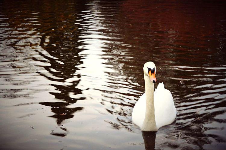 Lake Lac Swan Cygne Picoftheday Nikonphotography