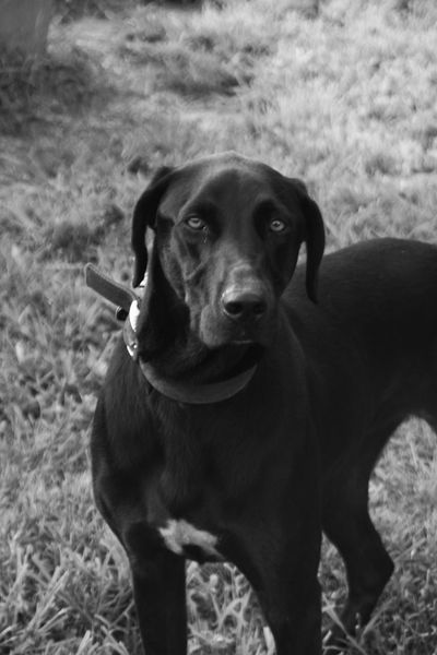 Black Labrador Retriever Animal Animal Body Part Animal Head  Black & White Black And White Black Color Blackandwhite Brown Close-up Day Domestic Animals Focus On Foreground Grass L Mammal Nature No People Outdoors Pet Collar Pets Portrait Selective Focus Sky Snout