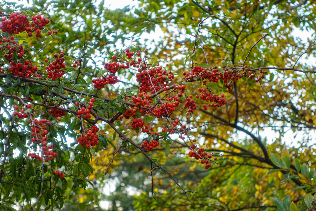 LOW ANGLE VIEW OF RED FRUITS ON TREE