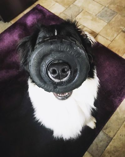 Bonkers Border Collie Puppy Playtime Dogslife Dog Toys Dog Toy Play Silly Dog Toy Border Collie High Angle View Indoors  Close-up No People Flooring Home Interior Purple Geometric Shape Black Color Circle One Animal Domestic Animals Domestic Canine Indoors  Portrait Fun Relaxation Pets Mammal Dog