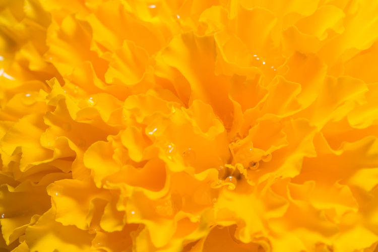 Orange Marigold Background Backgrounds Close-up Day Flower Head Freshness Full Frame Nature No People Outdoors Yellow