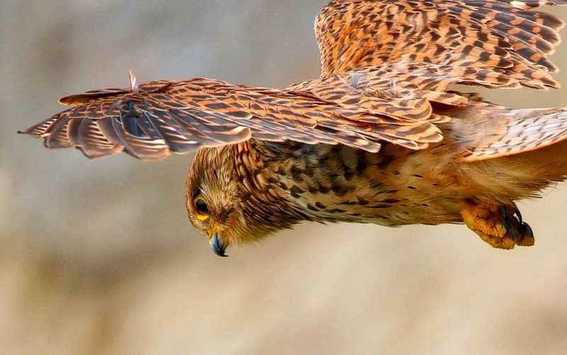 Close up bird of prey (Kestrel) Animal Markings Animal Themes Animal Wildlife Avian Beauty In Nature Bird Of Prey Close-up Day Focus On Foreground Natural Pattern Nature No People Outdoors Selective Focus Sky Spread Wings Wildlife Zoology