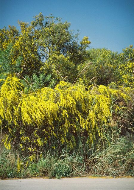 Yellow Blossom Flowers Nature Spring 35mm Filmisnotdead Colors Analogue Photography Film Photography Ontheroad Daydreaming Colour Of Life