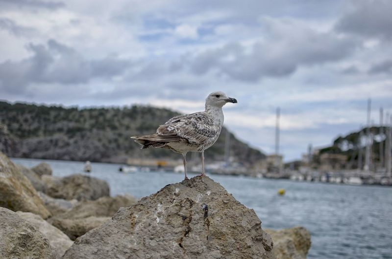 Seagull Bird Animals In The Wild Animal Themes One Animal Animal Wildlife Vertebrate Animal Rock Water Seagull Mallorca Soller Marine No People Sky Outdoors Day Sea Nature
