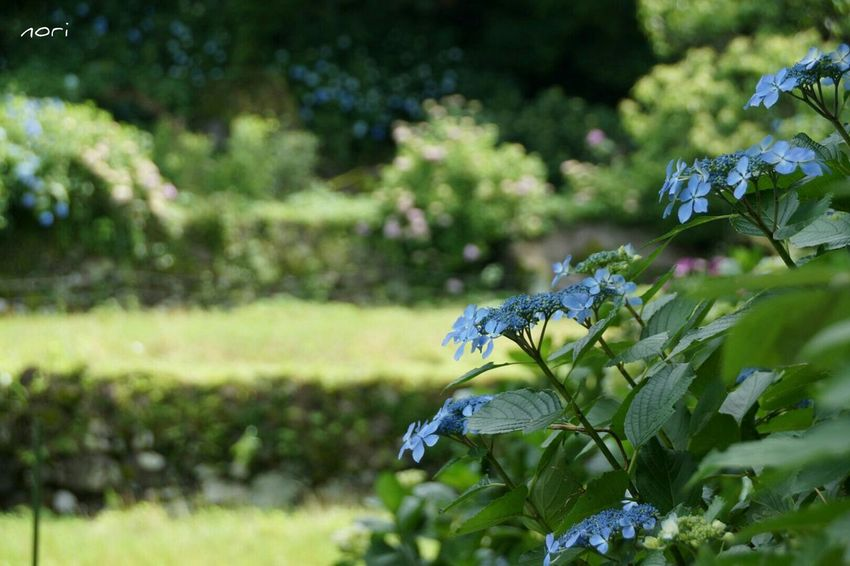 Hydrangea ボケ味ふぇち 紫陽花2015Photo Light And Shadow Bokeh EyeEm Nature Lover Beautiful Nature Flower Flowers Kagoshima