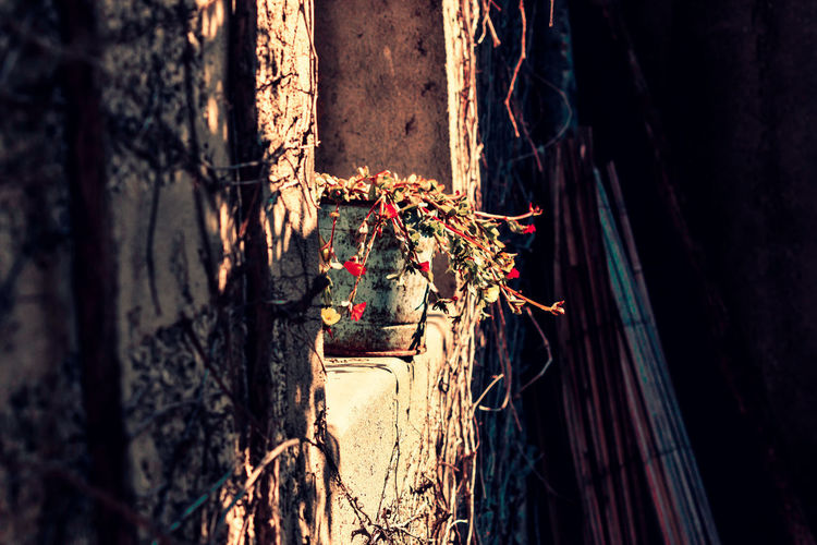 « Pot d'automne » Plant Nature No People Growth Flower Flowering Plant Plant Bark Flowerpot Plante Plantas Bluepot Rusty Rusty Metal Rusty Things Wall RedFlower Automne Automne🍁🍂🍃 Yellowflower