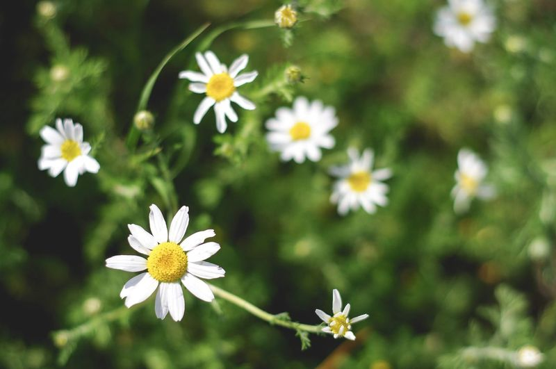 Daisies Green Springtime Spring Flowering Plant Flower Freshness Plant Fragility Vulnerability  Beauty In Nature Petal Growth Flower Head Close-up Focus On Foreground Nature No People Daisy