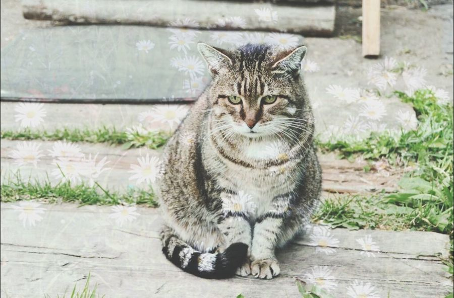 Cat from Alice's Wonderland living in russian derevnia (village), lost his smile... Russia Village Philosophy Cat