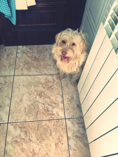 Cãozinho Cozinha Dog Domestic Animal Pet