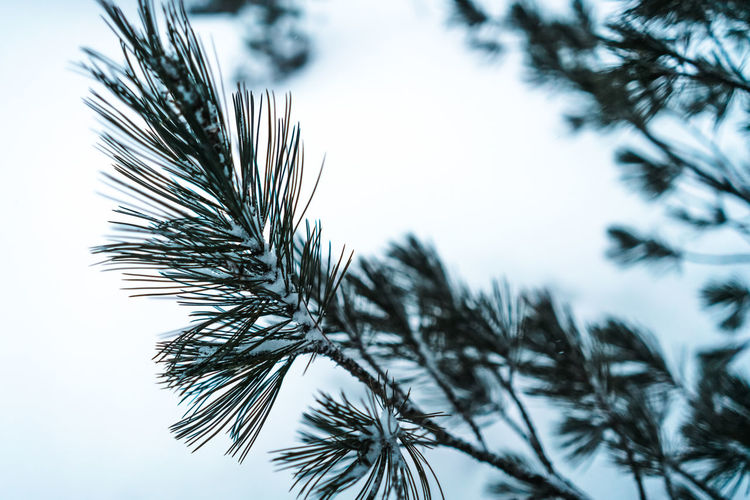 Pine needles Walking Hike Outdoors Forest Snow Cold Temperature Nature Plant Growth Tree Focus On Foreground Pine Tree No People Close-up Day Sky Beauty In Nature Tranquility Winter Branch Coniferous Tree Needle - Plant Part Fir Tree Palm Leaf