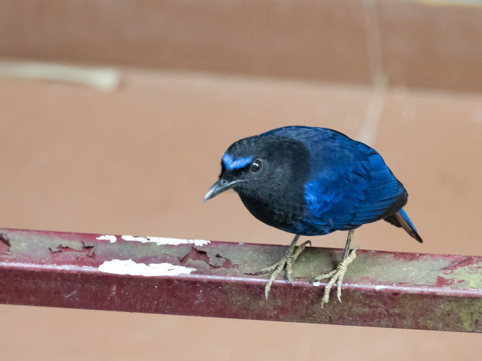 Malabar Whistling Thrush (Myophonus horsfieldii) Bird Vertebrate Animal Animal Themes Animal Wildlife Perching Animals In The Wild One Animal Focus On Foreground Day No People Close-up Nature Outdoors Black Color Blue Railing Beak Wall - Building Feature Wood - Material