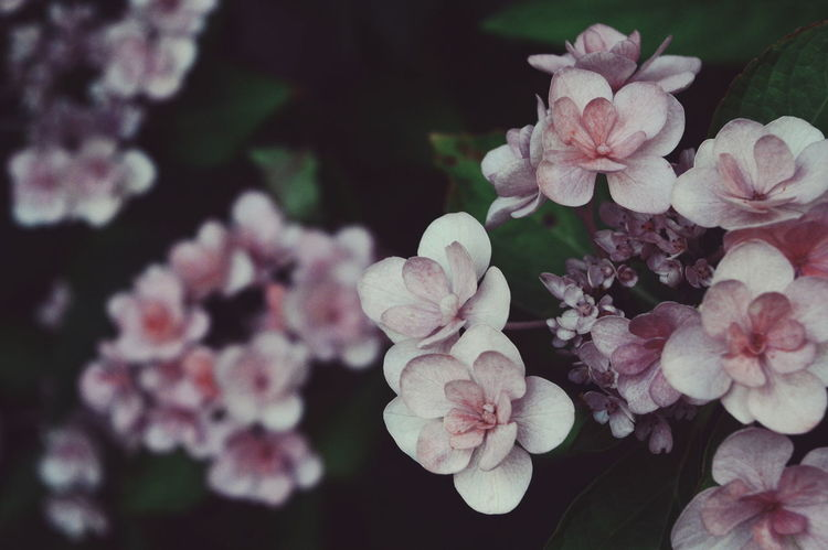 Nature Flower Plant Beauty In Nature Outdoors Petal Close-up Fragility Vintage Details Beauty Flowerpower Summervibes Fresh On Eyeem  Pink Peaceful The Week On EyeEm