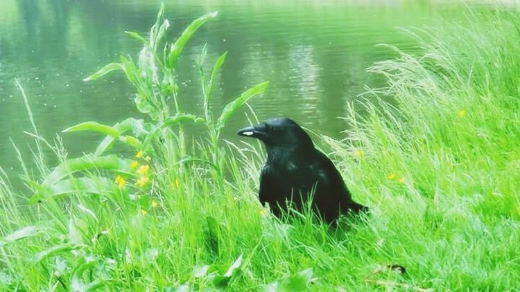 Crow Nature Tranquility Green Crow Plant Bird Grass Water Nature Tranquility Beauty In Nature