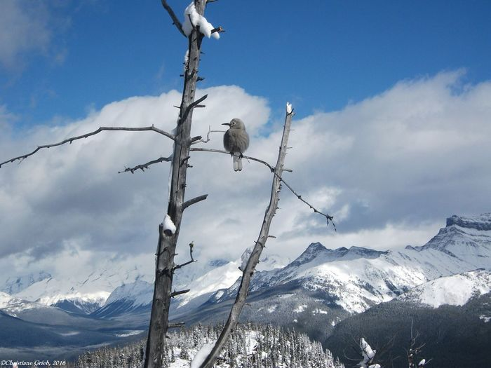 Wildlife Photography Animals In The Wild Bird Branch Grey Jay Love Yourself Nature Outdoors Perching Relaxing Moments Scenics Snow Stay Balanced And Grow Sunny Day Tree Winter Day