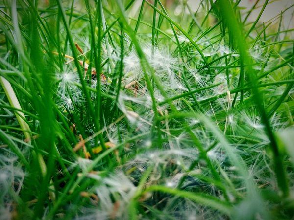 Dandelion Seeds Dandelion Found On The Roll Garden Grass Nature Plants Outdoors Spring Green Landside
