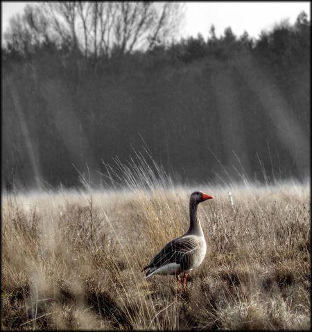 Wildgans im Hiller Moor Wildgänse Effects & Filters Hüpapics Red Kunst Ist Was Du Daraus Machst EyeEm Best Shots Moor  Hille Pentax Nature Tree Goose