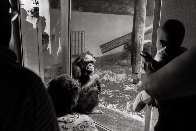 Only managed a few shots Monkeys Captive Animals Captivity Captivity Of A Wild Best Indoors  Indoors  Looking Through Window Mammal Men Monkey One Animal One Person Orangutan People Real People Window