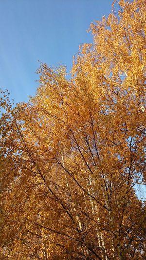 Золотая осень березы Autumn Colors